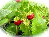 Wild_strawberry_1