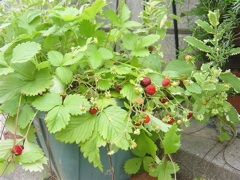 Strawberry__1